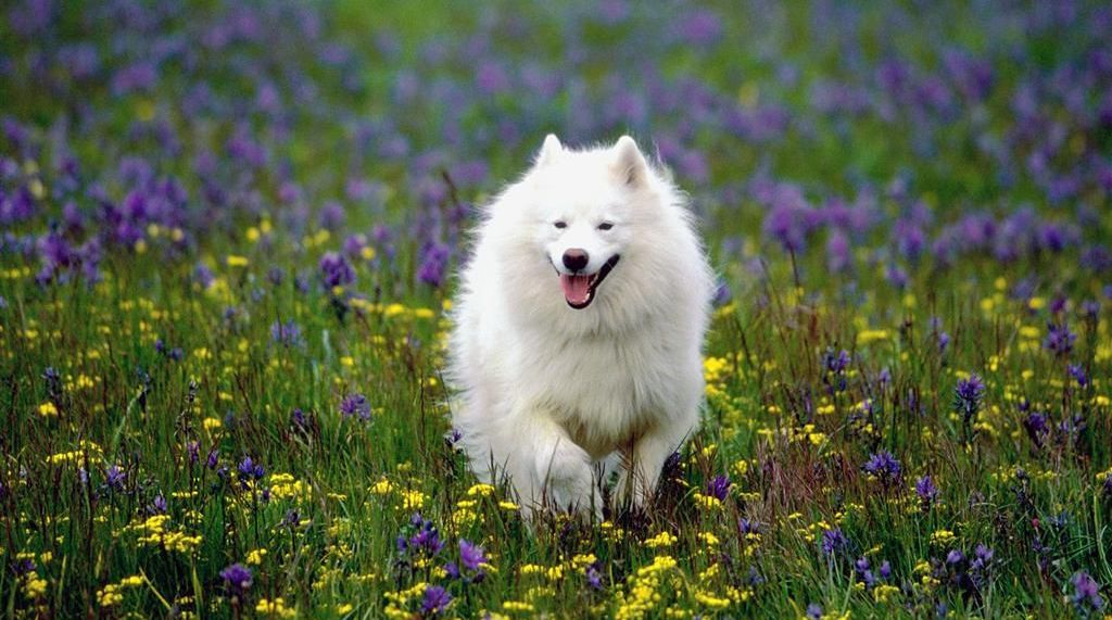 summer-play_samoyed (1)